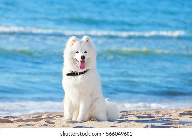 White dog Samoyed sitting on the beach on sea background