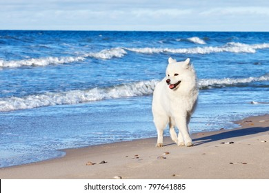 White dog Samoyed walks near the sea in Sunny day