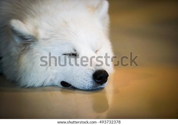 white dog sleep on the floor with vignette