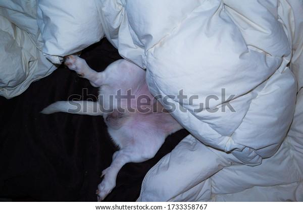 White Dog sleeping  inside of quilt