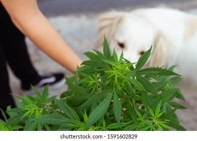 white dog smelling cannabis plant. Woman's hand.