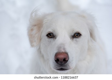 White dog in the snow, face is half of image. The rest is snow. Wind blows the fur on her ears up and back. Her face is pensive, sad, longing.