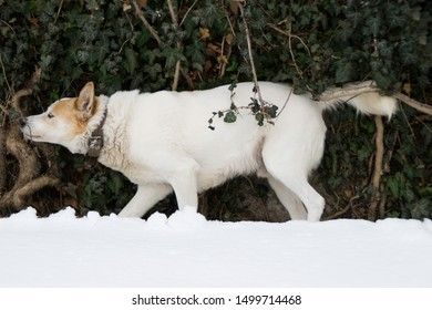 A white dog in the snow scratches on an evergreen creeper