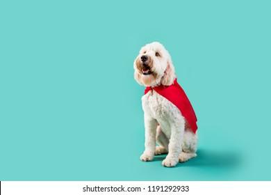 White Dog in Super Hero Cape