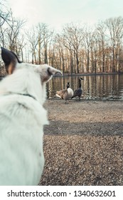 White dog watching two geese at a pond in Cologne, Germany