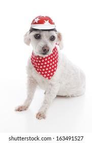 White dog wearing a bike helmet and red bandana with stars