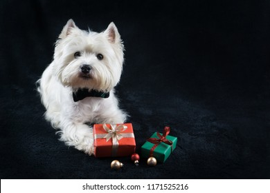 White dog, West Highland White Terrier, with Christmas gifts