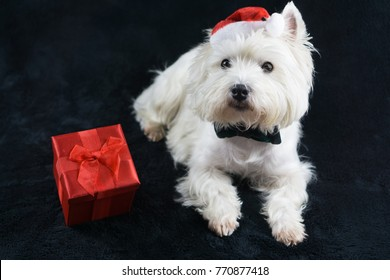 White dog, West Highland White Terrier, with a funny Christmas hat