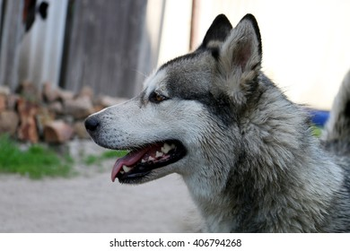 white dog, a wolf in the street