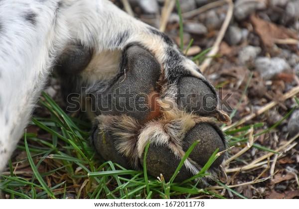 La patte d'un chien blanc avec des coussinets sur une herbe