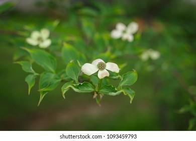 White Dogwood Bloom