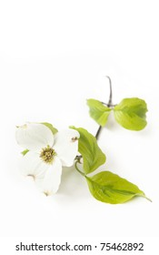 A white Dogwood bloom isolated on a white vertical background with focus on center of flower