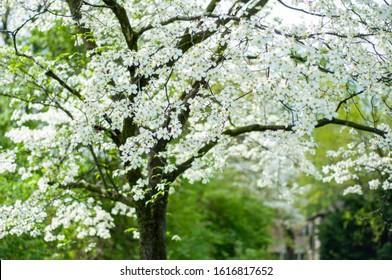 White Dogwood Flower Tree in Backyard