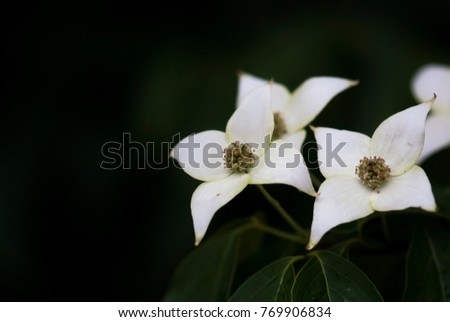 White Dogwood Flowers Bloom On Branch Stock Photo Edit Now