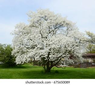 white dogwood tree