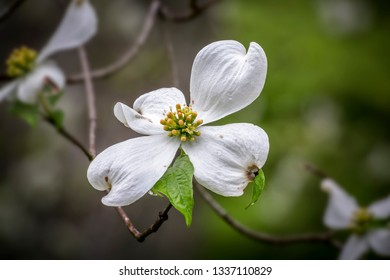 A white dogwood tree blossom with droplets of rain catches the dappled light of the woods.