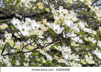 White Dogwood tree or Cornus florida in full bloom.