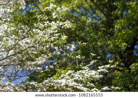 White Dogwood Tree Cornus Florida Full Stock Photo Edit Now