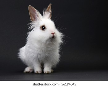 White domestic baby-rabbit on the black background in the studio
