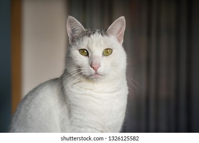 white domestic cat with pink nose