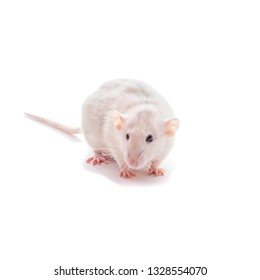 White domestic dumbo husky rat isolated on white background. Fat pregnant rat