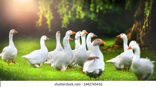 White domestic geese in green park. Goose with an orange beaks on beautiful meadow.