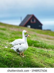 White domestic geese on green grass pasture near tradicional faroese black house. Faroe islands, Denmark