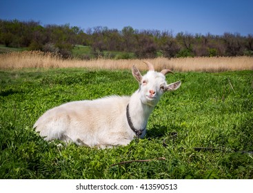 white domestic goat laying on the grass on the meadow