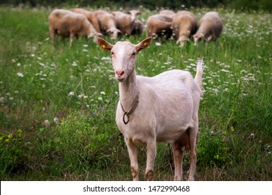 White domestic goat on a meadow