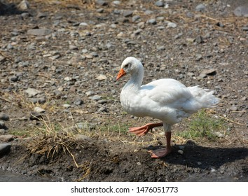 White domestic Goose walking on ground. A flock of domestic white geese. Rural landscape. Domestic bird. Several ducks and geese on a pond. Family of home geese with orange beak and orange legs.