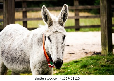 White donkey in a field