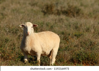 white dorper ewe standing in karoo vegetation