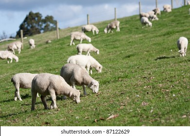 White Dorper lambs and sheep grazing on grass.