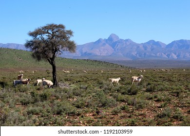 white dorper sheep grazing in southern Karoo with mountain in background