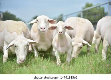 white dorper sheeps in thailand, owner: Rainutyabutr Thailan, Thai Breeders sheeps