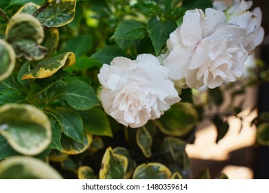 White double Impatient flowers growing among vines. Potted plant arrangement.