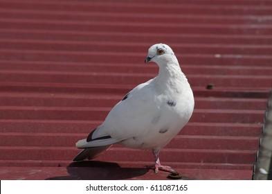 White dove - Shutterstock ID 611087165