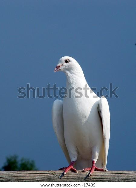 White dove against a blue sky