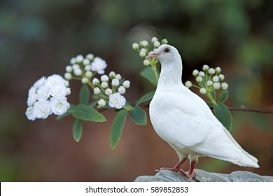 White Dove with Bridal Wreathe
