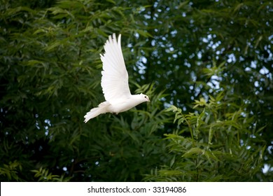 White dove caught mid-flight against the green of the trees in the background