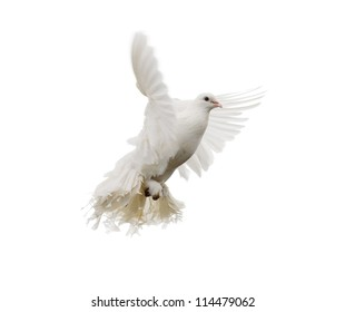 White dove in flight. Isolated on white