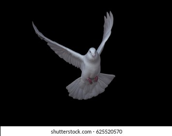 White dove in fly isolated at black