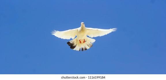 White dove flying against the blue sky.