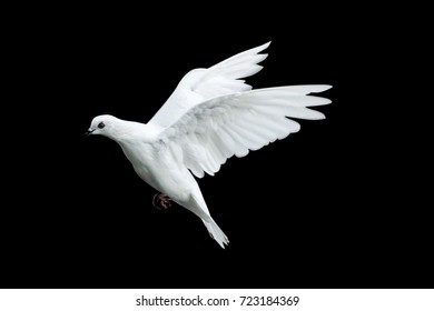 white dove flying with a black background.