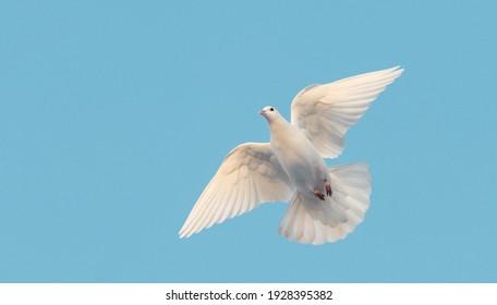 white dove flying in the blue sky