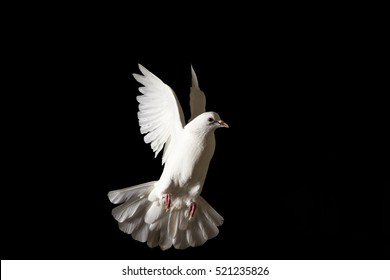 white dove flying isolated on black,pigeon