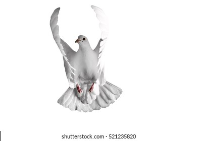white dove flying on a white background