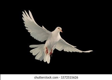 White dove flying on black background and Clipping path .freedom concept and international day of peace concept