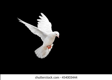 White dove flying on black background and Clipping path .freedom concept and international day of peace 2020