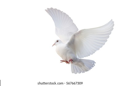 White Dove freedom Wings of Liberty sides are flying isolated on white background. This has clipping path.